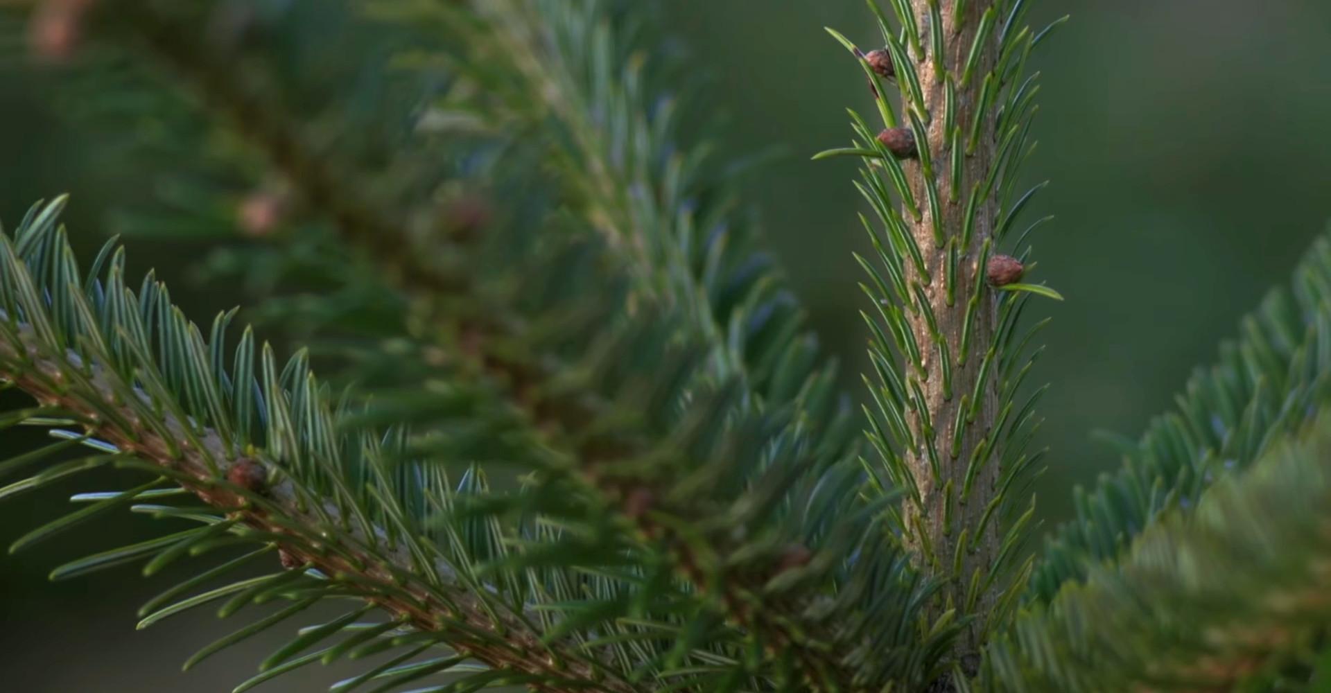De mooiste Nordmann Excellent kerstboom in Cruquius vanaf € 15,-